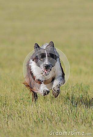 Free Stock Dog Runs In Royalty Free Stock Photo - 12876655