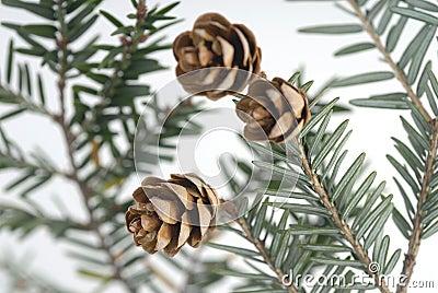 Stock Photo of Pine Cones
