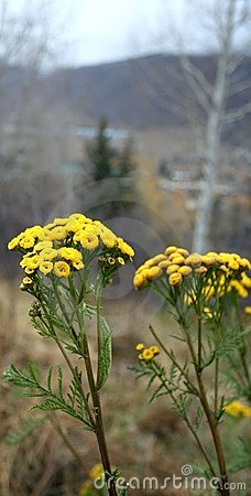 Stock Photo of Tansy Tanacetum vulgare
