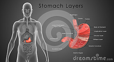 digestion and important functions Gut health digestive system as a second brain login 1-800-762-6282 1-800-762-6282 the health of your gastrointestinal system is extremely important to your overall well-being largely responsible for the critical functions of the body's digestive and immune systems.