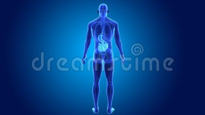 Stomach and small intestine with anatomy Stock Photo