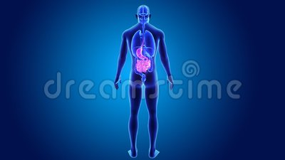Stomach and small intestine with organs Stock Photo