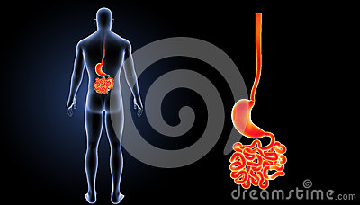 Stomach with small intestine posterior view Stock Photo