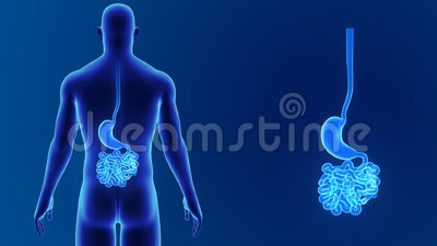 Stomach and small intestine zoom with body Stock Photo