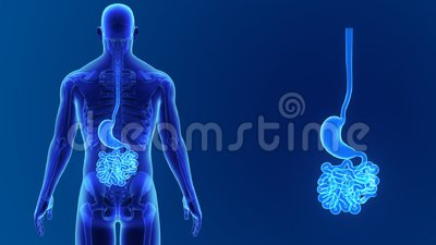 Stomach and small intestine zoom with skeleton Stock Photo