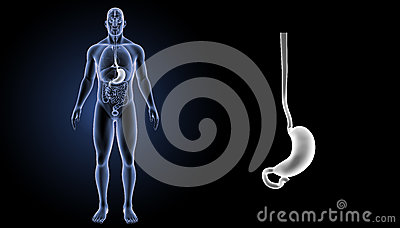 Stomach zoom with organs anterior view Stock Photo