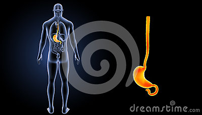 Stomach zoom with organs posterior view Stock Photo
