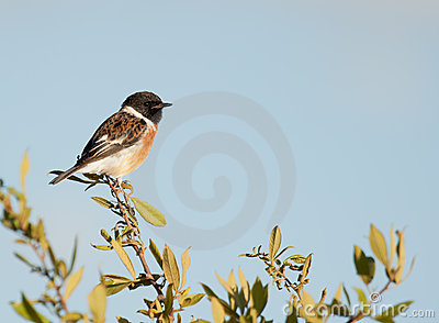 Stone chat perched against a blue sky