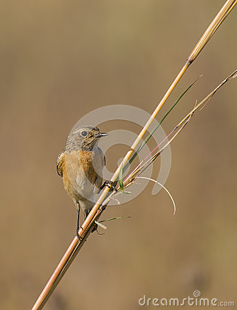 Stone chat perched on a stem of grass