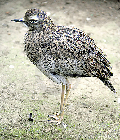 Free Stone Curlew 1 Royalty Free Stock Photo - 2237315