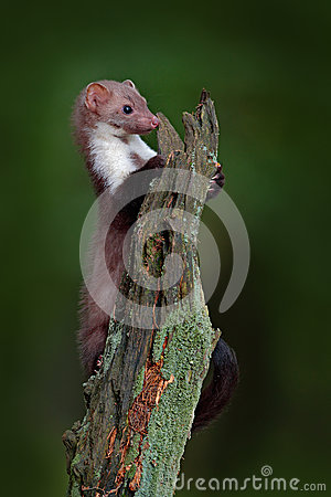Free Stone Marten, Detail Portrait Of Forest Animal. Small Predator Sitting On The Tree Trunk With Green Moss In Forest. Wildlife Scene Royalty Free Stock Photos - 80548538