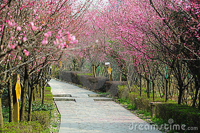 Stone path with plum blossom