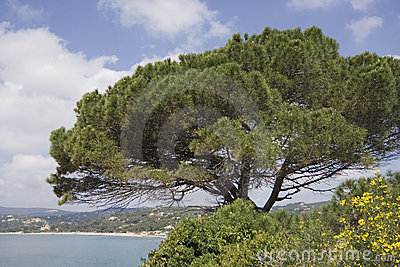 Stone pine on the coast of the mediterranean sea