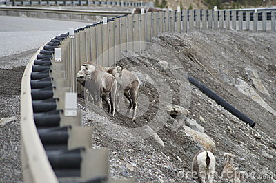 Stone Sheep Alaska Highway Canada
