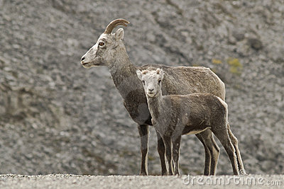 Stone Sheep (Ovis dalli stonei)