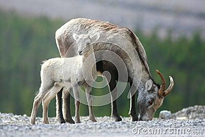 Stone Sheep in the Yukon Territories
