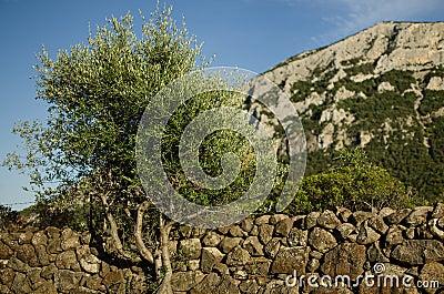 Stone wall with tree, Sardinia