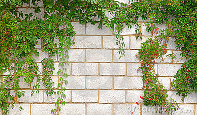 Stone wall twined a plant
