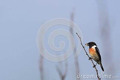 Stonechat on tree branch
