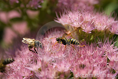 Stonecrop insects