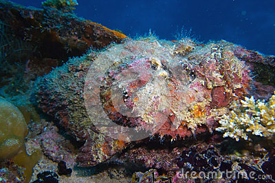 Stonefish on a ship wreck