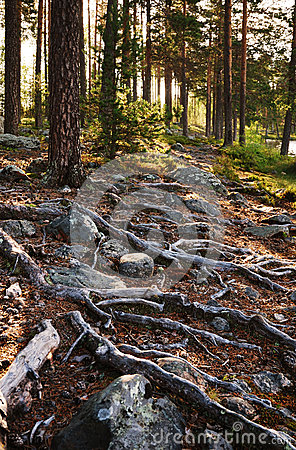 Free Stony Soil With Thick Roots At The Finnish Forest. Stock Photo - 37239080