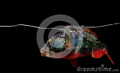 Stoplight parrotfish on black background
