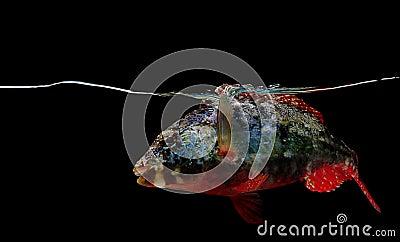 Stoplight parrotfish on black background