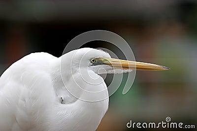 Stor egret