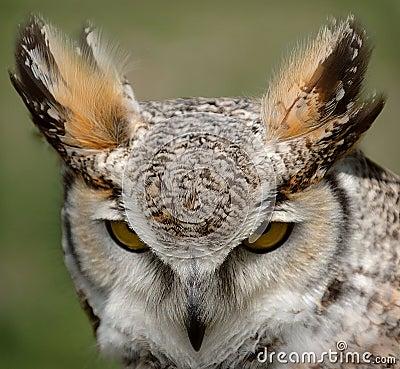 Stor horned owl
