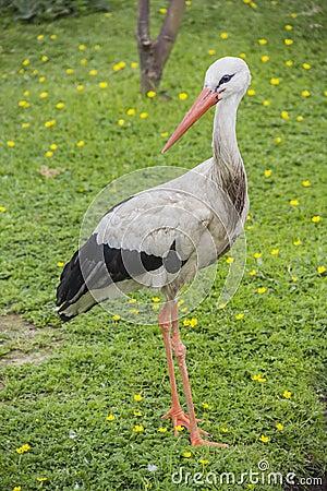 Storch auf dem Gras