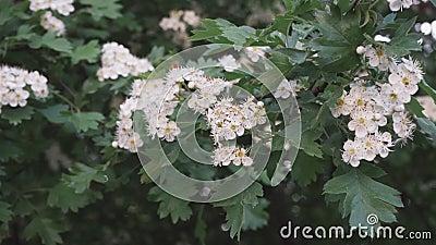 Storhawthorn buh blommar vackert arkivfilmer