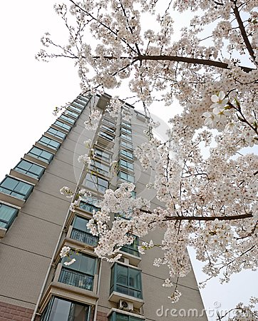 Storied building and cherry blossom