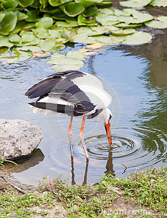 Stork catching food in the water