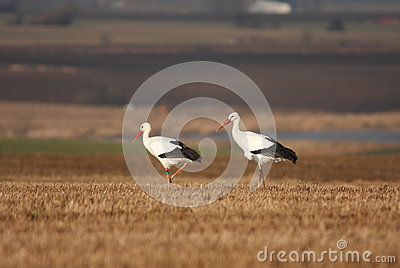 Stork Couple Stock Images - Image: 25971694