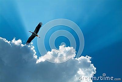 Stork in flight in Racconigi - Italy
