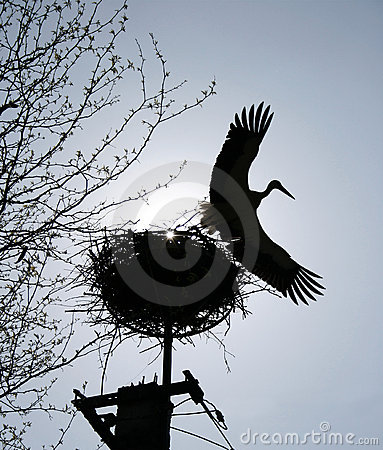 Stork flying from a nest