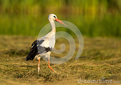 Stork in the grass