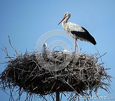 Stork in her nest