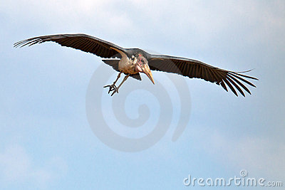 Stork marabou flies in the blue sky