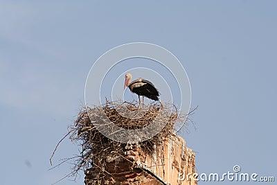 Stork in nest in Marrakech