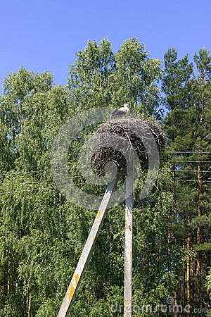 Stork in the nest