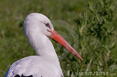 Stork searching for food