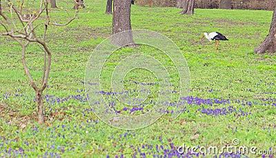 Stork in spring walking in the grass