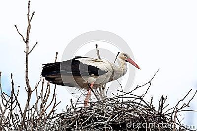 Stork standing in the nest