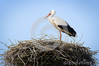 Stork standing in nest