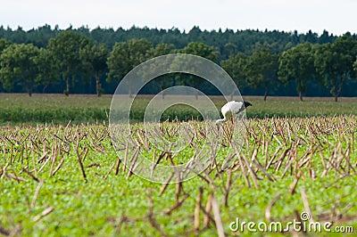 Stork walking on green meadow