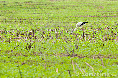 Stork walking on green meadow