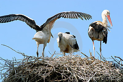 Storks in a aerie