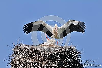 Storks clattering